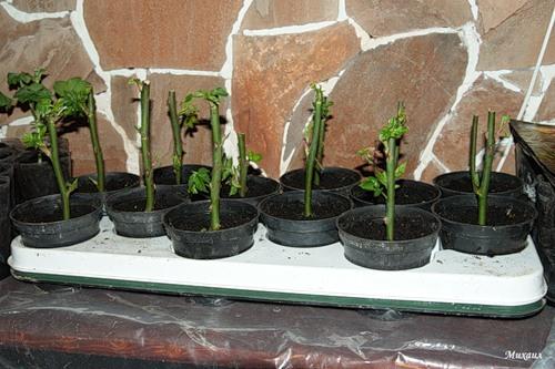 Вырастить черенок розы в домашних условиях 372